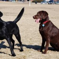 Black vs chocolate lab