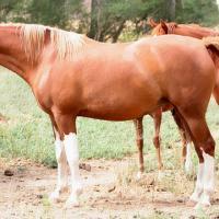 splashed white arabian (horse)