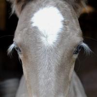 silver foal eyelashes