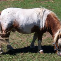 Oakland Miniature Horse