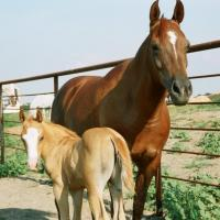 Arabian mare and her palomino filly