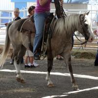 Quarter Horse Pony