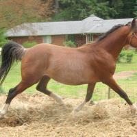 Apacheblu Radyance, Arabian