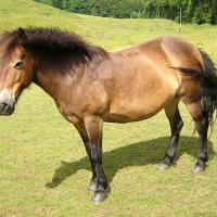 exmoor pony with panagre (horse)