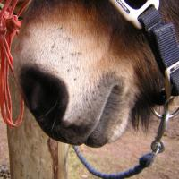 pangare muzzle on a horse