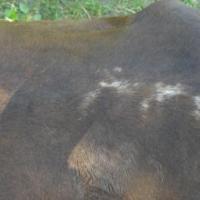 Lacing on the back of an Arabian named STM Mocha