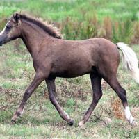 smoky black horse (filly)