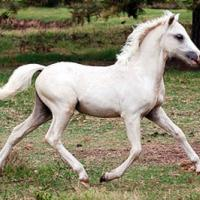 Palomino foal (filly)