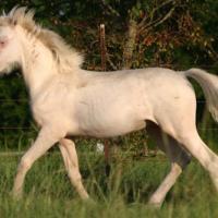 cremello foal (colt) (horse)