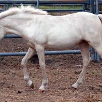 smoky cream filly (horse)