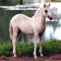 palomino filly (horse)