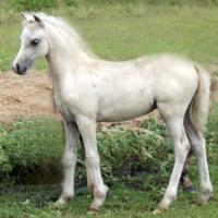 palomino + dun (dunalino) filly (horse)