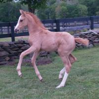 Timeless Blonde Foal