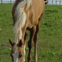 palomino filly 10 months (horse)