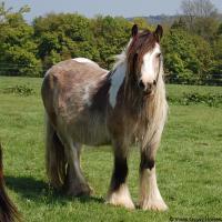 buckskin mare (horse)