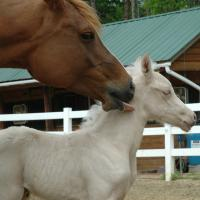 palomino plus silver foal (filly) (horse)