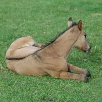 dun foal showing dorsal and shoulder bars