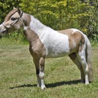 Cross Country Blue Moon Buckskin Homozygous for Tobiano Pinto Stallion