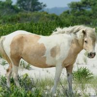 Wild Pony at Assateague