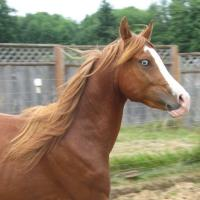 Alekhzander, purebred Arabian