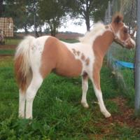 Homozygous Tobiano and W20