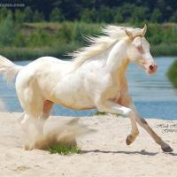 Smoky Cream dun horse
