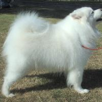 A Samoyed Dog Showing off it's long hair coat.