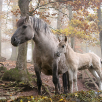 grullo (black dun) mare with foal