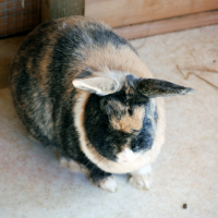 Japanese Brindle Rabbit
