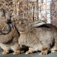 Chestnut Rabbits