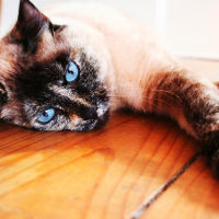 A pointed tortoiseshell cat.