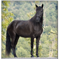 Smoky Black Horse