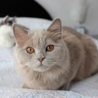 Lilac cat