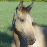 Amber Champagne Filly