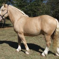 Gold Champagne draft stallion