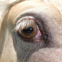 Champagne horse's eye color