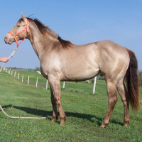 Amber or sable champagne stallion