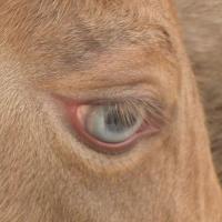 champagne foal eye