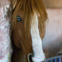 Chestnut Horse with Blue Eye