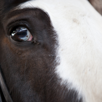 Partial Blue Eye in a horse