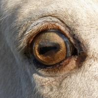 amber eye in a champagne horse