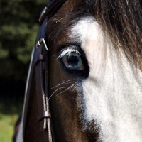 blue eye caused by a white pattern in a horse