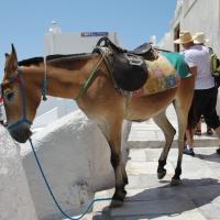 dun mule
