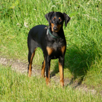black and tan dog