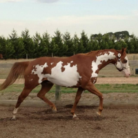 Frame Chestnut AA Mare