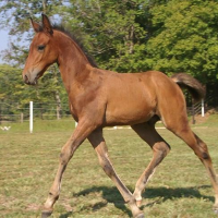 a bay foal whose points have not yet darkened