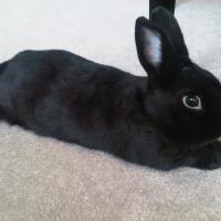 Self Black rabbit