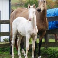 double dilute foal with buckskin dam