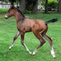 Seal Holsteiner filly