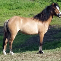 Bay dun welsh mare with frosting
